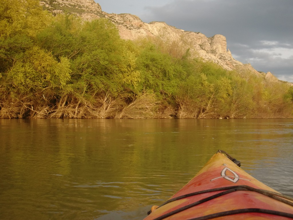 Sauces floridos en las riberas del Ebro