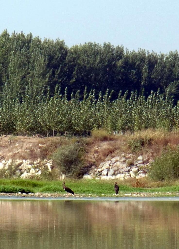 Cigüeñas negras sobre una mejana del Ebro aragonés