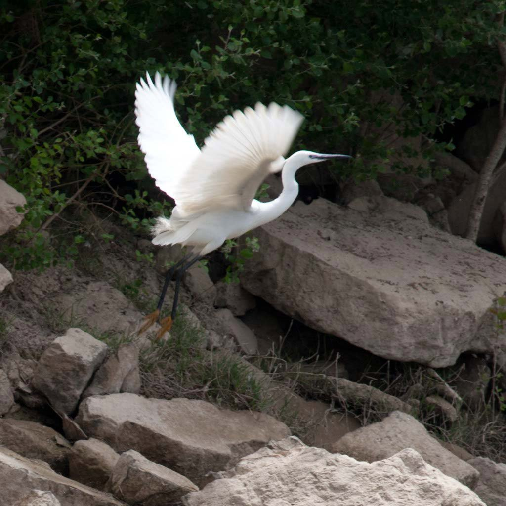 Garceta despegando en un descenso ornitológico